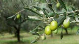 «الزراعة» تصدر 5 توصيات فنية لمزارعي الزيتون