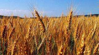 لمزارعي القمح.. نشرة بالتوصيات الفنية لشهر مارس